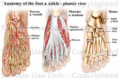 tendon-brevis-hallucis-anatomy-of-the-human-foot-tertius-medial-flexor-plantar-sesamoid-tibialis-anterior-extensor-digitorum-interphalangeal-joint-pha