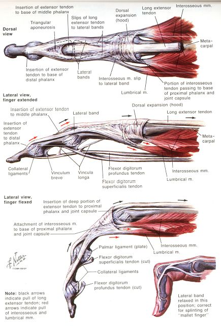 Finger Anatomy Understanding Muscle Movement Joints And Nerves