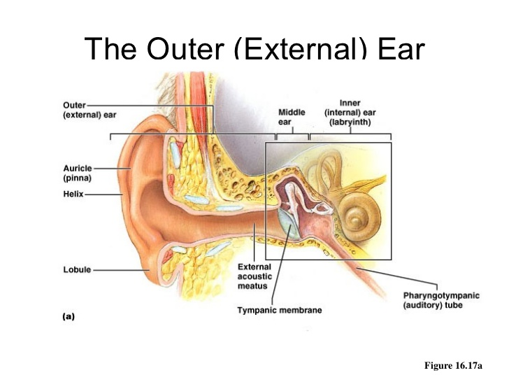 ear-anatomy-outer