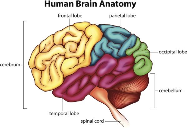 600 -479380981-menslike brein