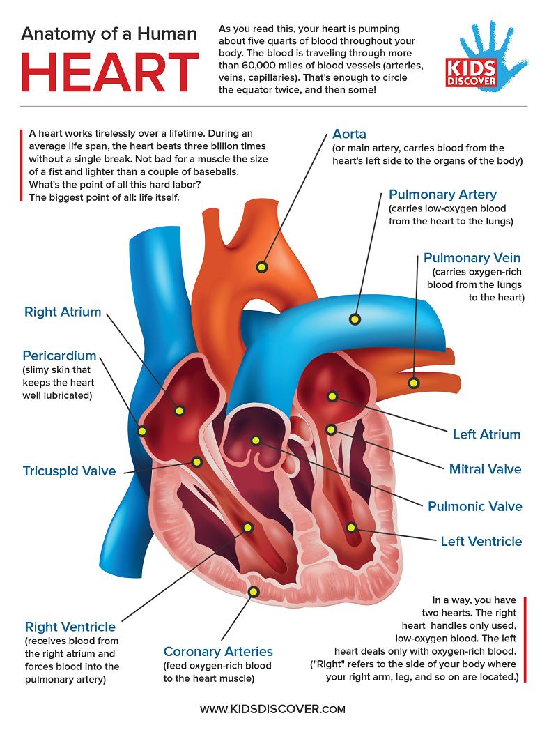 Anatomy Of The Heart Health Life Media