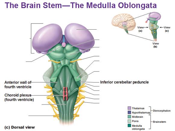 medula oblongata