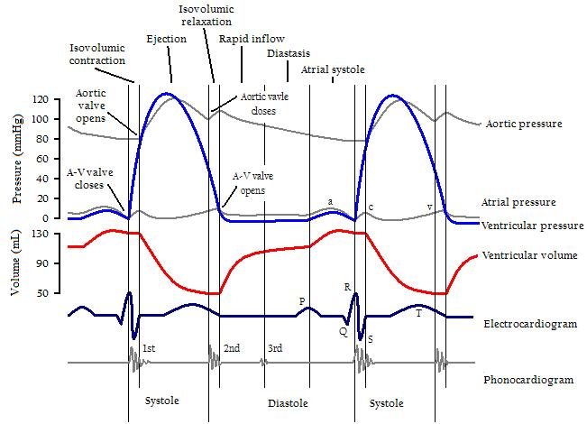 o batimento cardíaco EKG