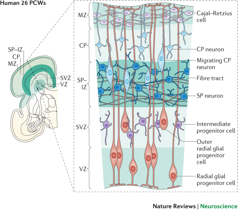 Neocortex: Cerebral Cortex: Development