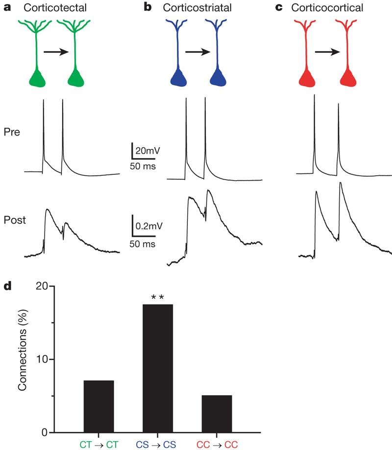 Neocortex: Cortical Layers Of The Cerebral Cortex