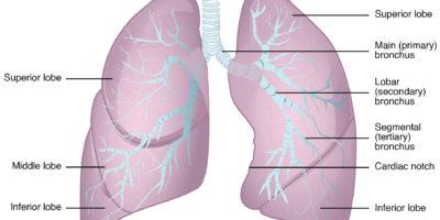 I polmoni sono l'organo primario del sistema respiratorio, ciascun polmone ospita strutture sia di conduzione che di funzioni respiratorie. La funzione principale dei polmoni è di eseguire lo scambio di ossigeno e anidride carbonica nell'atmosfera attraverso l'atmosfera.